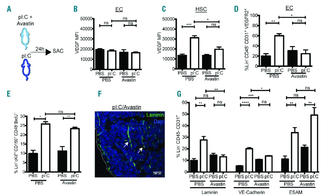 IFNα-mediated remodeling of endothelial cells in the bone ...